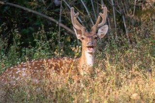 IMG_6489_-_Spotted_deer.jpg
