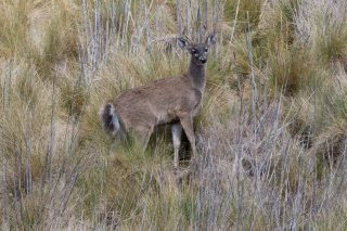 3T9P9707_-_White-tailed_Deer.jpg