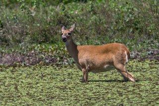 C16V0786_-_White-tailed_Deer.jpg