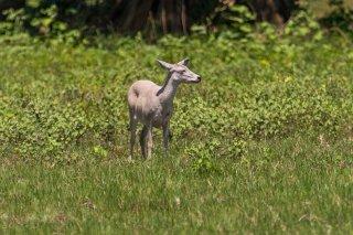 C16V0807_-_White-tailed_Deer.jpg