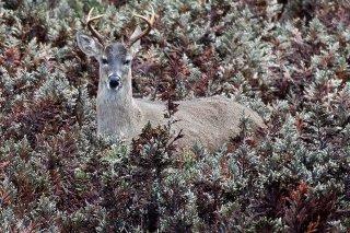 IMG_7694_-_White-tailed_Deer.jpg