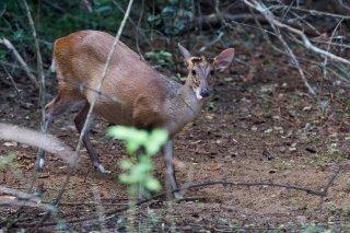 C16V1012_-_Barking_Deer.jpg