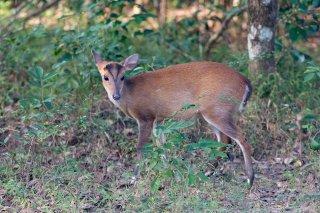 C16V1110_-_Barking_Deer.jpg