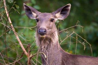 3T9P2914_-_Sambar_Deer.jpg