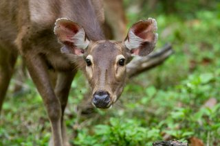 IMG_2495_-_Sambar_Deer.jpg
