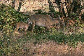 IMG_5746_-_Sambar_deer.jpg