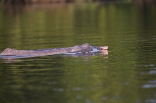 C16V9311_-_Pink_River_Dolphin.jpg