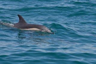 3T9P1650_-_Common_Dolphin.jpg