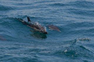 3T9P1659_-_Common_Dolphin.jpg