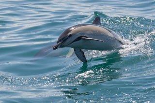 3T9P1683_-_Common_Dolphin.jpg