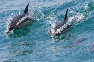 3T9P1730_-_Common_Dolphin.jpg