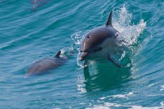 3T9P1740_-_Common_Dolphin.jpg