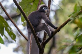 C16V1729_-_Dusky_Leaf_Monkey.jpg