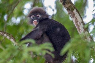 C16V1885_-_Dusky_Leaf_Monkey.jpg