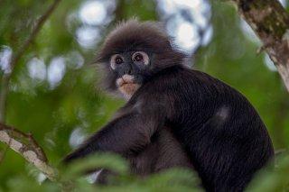 C16V1886_-_Dusky_Leaf_Monkey.jpg