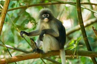 IMG_5407_-_Dusky_Leaf_Monkey.jpg