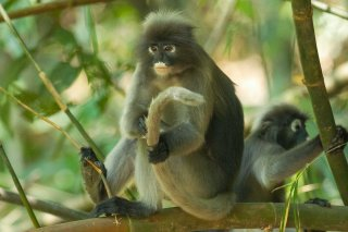 IMG_5416_-_Dusky_Leaf_Monkey.jpg