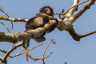 IMG_9072_-_Dusky_Leaf_Monkey.jpg