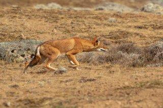 2M3A0028_-_Ethiopian_Wolf.jpg