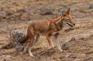 2M3A9646_-_Ethiopian_Wolf.jpg