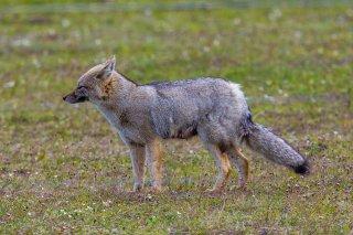 C16V1425_-_South_American_Gray__Fox.jpg