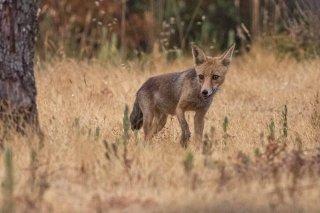 2M3A0779_-_Red_Fox.jpg