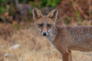 2M3A5527_-_Red_Fox.jpg