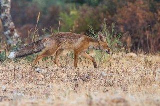 C16V4543_-_Red_Fox.jpg