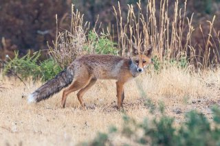 C16V4547_-_Red_Fox.jpg