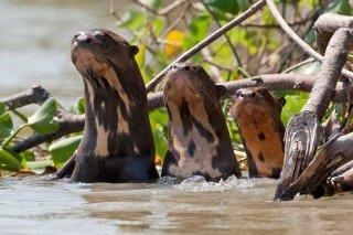 3T9P4153_-_Giant_Otter.jpg