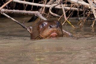 3T9P4437_-_Giant_Otter.jpg