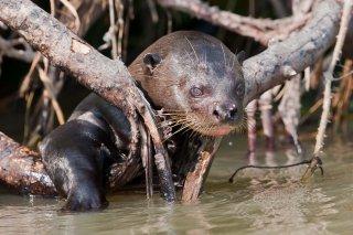 3T9P4482_-_Giant_Otter.jpg
