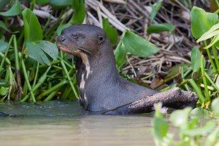 3T9P4491_-_Giant_Otter.jpg