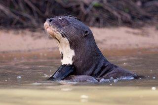 3T9P7967_-_Giant_River_Otter.jpg