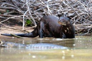 3T9P7981_-_Giant_River_Otter.jpg