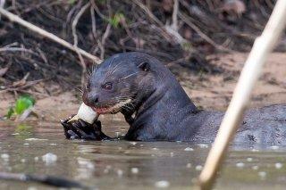3T9P7991_-_Giant_River_Otter.jpg