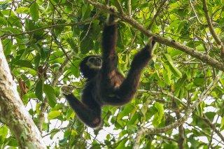 IMG_2376_-_White-handed_Gibbon.jpg
