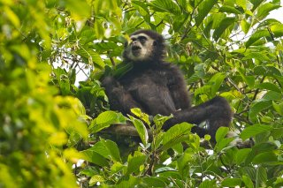 IMG_2384_-_White-handed_Gibbon.jpg