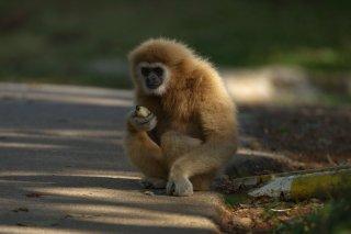 IMG_8320_-_White-handed_Gibbon.jpg