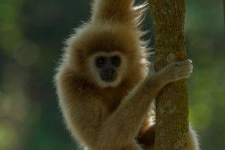 IMG_8325_-_White-handed_Gibbon.jpg