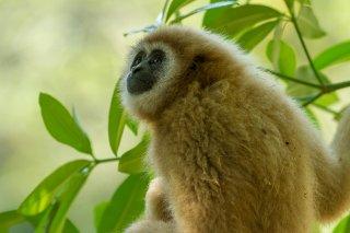 IMG_8327_-_White-handed_Gibbon.jpg