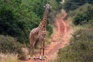 3T9P3311_-_Rothschild_Giraffe.jpg