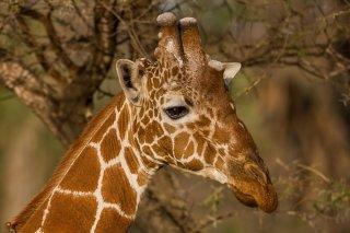 3T9P4766_-_Reticulated_Giraffe.jpg
