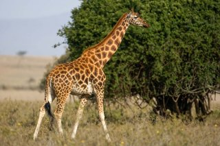 3T9P6747_-_Rotschildt_Giraffe.jpg