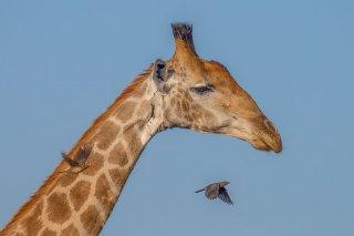 C16V3818_-_Giraffe.jpg