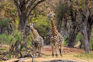 C16V3871_-_Giraffe.jpg