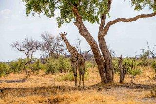 C16V4082_-_Giraffe.jpg