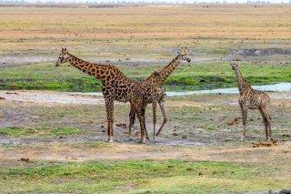 C16V4190_-_Giraffe.jpg