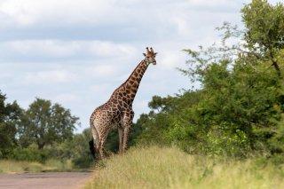 C16V5908_-_African_Giraffe.jpg
