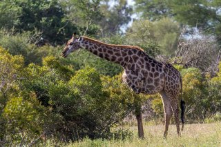 C16V6267_-_Giraffe.jpg